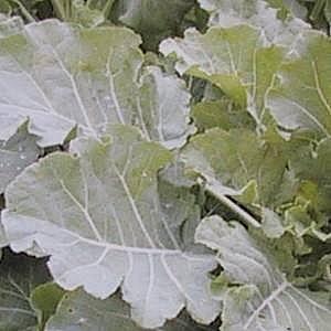 Surefire Kale Blend 2kg