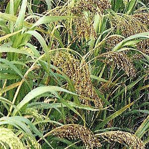 White Millet 5kg