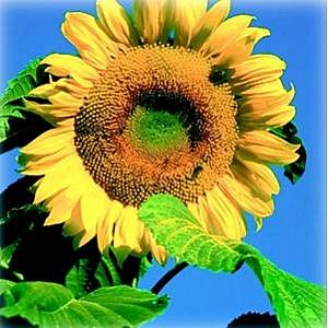 Standard Sunflowers 5kg