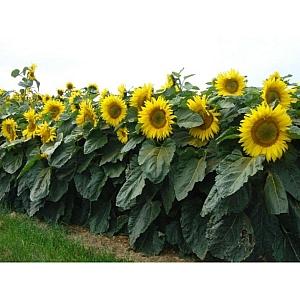 Dwarf Sunflowers 5kg