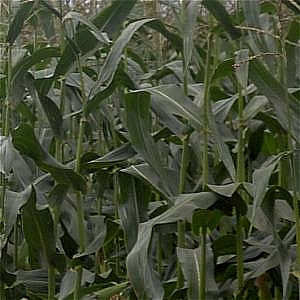 All Seasons Game Maize Acre Pack