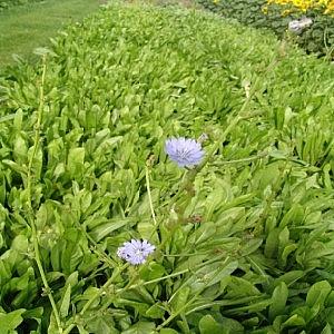 Perennial Chicory 2kg